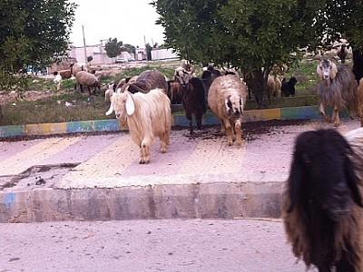 اطلاعیه : خواهشمند است از تردد گوسفندان خود در پیاده روها، کوچه ها و خیابانهای شهر خودداری نمائید